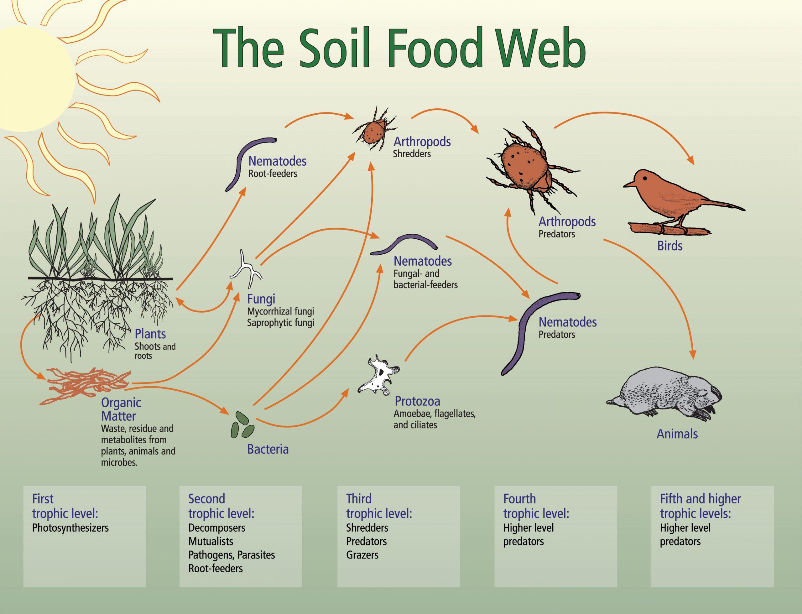 Z dovoljenjem, Image courtesy of USDA Natural Resources Conservation Service https://www.nrcs.usda.gov/wps/portal/nrcs/detailfull/soils/health/biology/?cid=nrcs142p2_053868